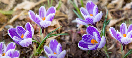 Purple crocuses in spring garden. Easter background.
