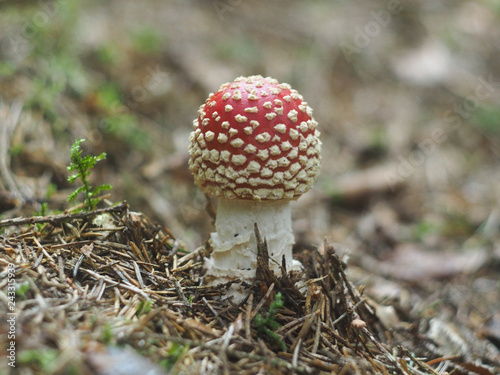 Young fly agaric Wallpaper Mural