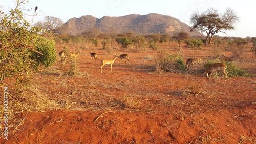Foto auf AluDibond Ziegel Gazellen in der Savanne