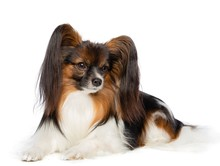 Continental Toy Spaniel, Papillon Dog  Isolated  On White Background In Studio