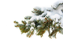 A Branch Of A Tree Covered With Fluffy Snow, Paw Pine With Green Needles