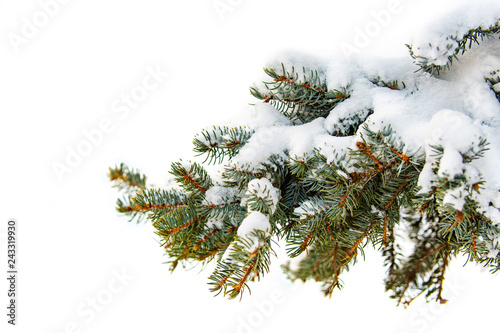 Fotografia A branch of a tree covered with fluffy snow, Paw pine with green needles