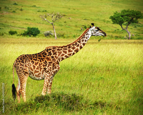 Portrait of single giraffe grazing in african savannah