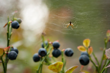 Small Spider In Web At Blueberry Bush