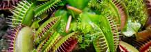 Carnivorous Predatory Plant Ve...