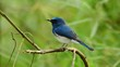 Blue-throated Flycatcher on branch in Thailand