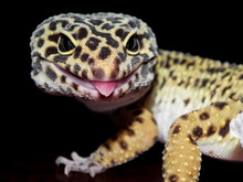 Leopard Gecko With Black And Y...