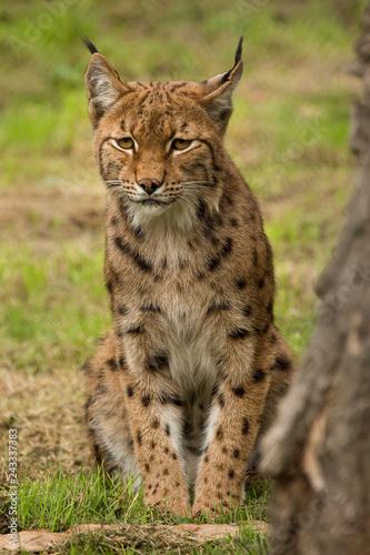 Europese lynx zit af te wachten #243337383