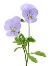 Fleur De Viola Cornuta
