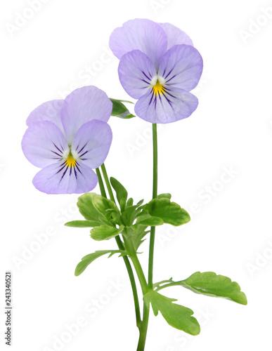 Papiers peints Pansies Fleur de Viola cornuta