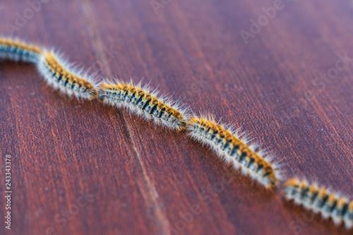 Fotografía  Row of processionary caterpillars, Thaumetopoea pityocampa, on a brown backgroun