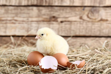 Little Chick With Egg Shell On...