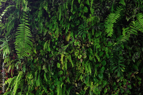 Obraz Vertical garden nature backdrop, living green wall of devil's ivy, ferns, philodendron, peperomia, inch plant and different varieties tropical rainforest foliage plants on dark background. - fototapety do salonu