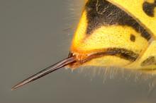Stachel Einer Wespe