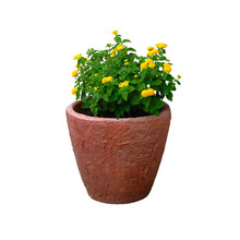 Pot With Bush Of Green Plant With Yellow Flowers For Landscape Design, Isolated On White Background. Bush With Fresh Juicy Leaves In Terracotta Pot.