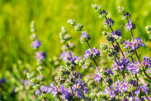 Cleveland Sage (Salvia Clevelandii) Flowers Growing On A Meadow In Spring, California