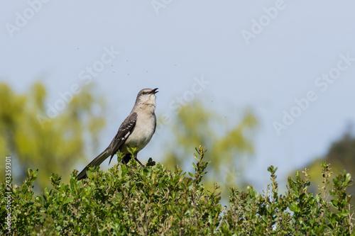 Fotografía Singing Northern Mockingbird, Ulistac Natural Area, Santa Clara, California