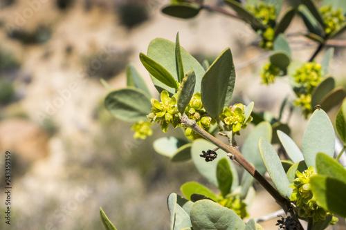 Valokuva  Close up of flowering Jojoba (Simmondsia chinensis) branch, Joshua Tree National