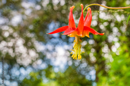 Photo Close up of Red columbine (Aquilegia formosa) wildflower on a blurred background