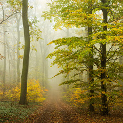 FototapetaFootpath through Forest of Beech Trees in Autumn, Dense Fog, Leaves Changing Colour