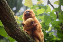 Cute Golden Lion Tamarin (Leon...