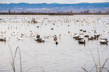Geese Taking Over The Ponds And Marshes Of Sacramento National Wildlife Refuge During The Winter Migration, California