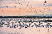 A Flock Of Snow Geese Winterin...