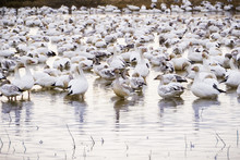 A Flock Of Snow Geese Taking Over The Ponds Of Sacramento National Wildlife Refuge During Migration Season, California