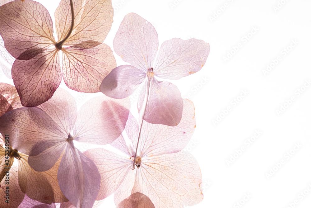 Fototapeta pink hydrangea flowers on the white background. floristic concept