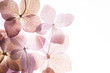 canvas print picture - pink hydrangea flowers on the white background. floristic concept
