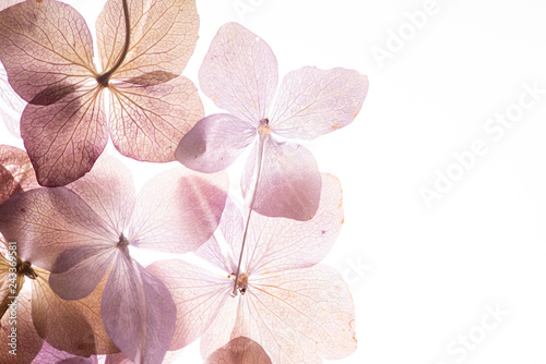Montage in der Fensternische Hortensie pink hydrangea flowers on the white background. floristic concept