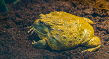 Closeup Of A African Bullfrog Side View, Big Tropical Amphibian From Africa