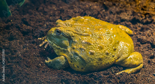 Photo closeup of a african bullfrog side view, big tropical amphibian from africa