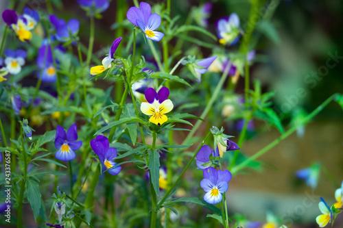 Fotografie, Obraz  Viola tricolor flowers