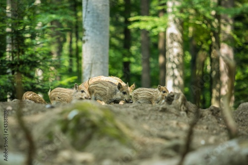 Fotografie, Obraz  A bunch of brown and yellow striped wild boar piglets in a forest, green trees i