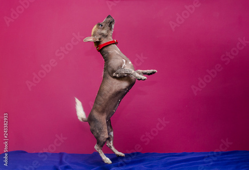 retrato de perros raza pila con collar Fototapet