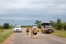 Tourists From Cars Watching The Lions Walking On The Road. Game Drive In A Kruger Park In South Africa