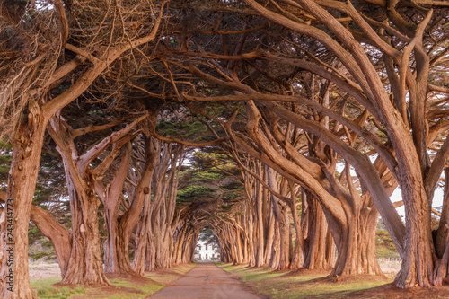 Canvas Print Cypress Tree Tunnel painted in golden light during sunrise