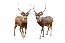 Spotted Deer Isolated On White Background