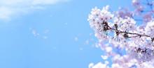青空に舞う満開の桜
