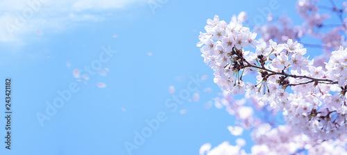 Tuinposter Kersenbloesem 青空に舞う満開の桜