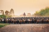 Stado kaczek z rolnikiem gromadzącym się na polnej drodze - 243431537