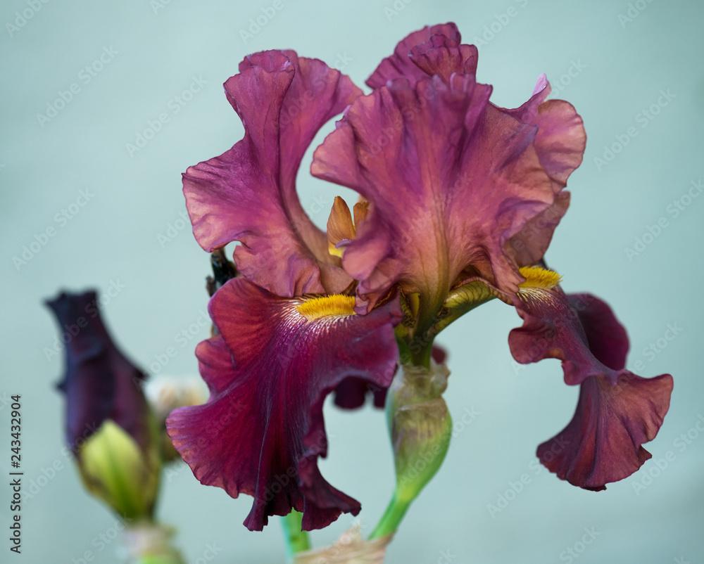 Fototapeta Bright iris flower