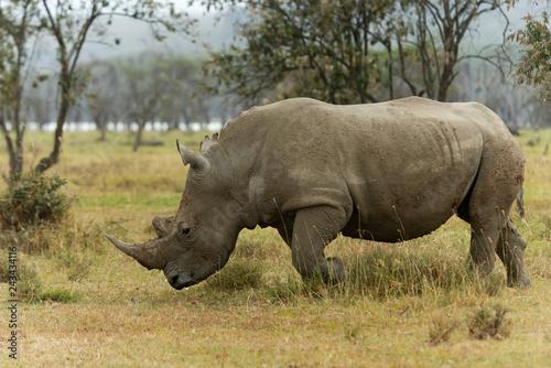 Fényképezés  White Rhino,  Ceratotherium simum grazing in lake Nakuru, Kenya, Africa