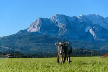 Alpen Kuh Vor Bergpanorama