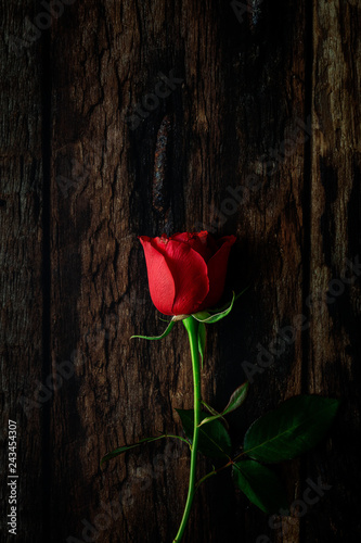red roses with dark background Wallpaper Mural
