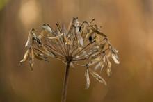 Agapanthus Seed Head