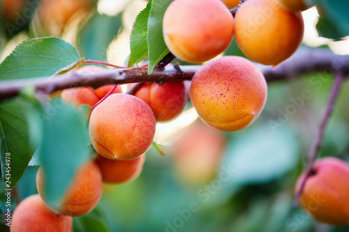 Vászonkép A bunch of ripe apricots on a branch
