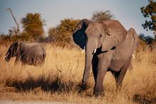 Elefant Am Kwando River Bei Sonnenuntergang, Caprivi, Namibia