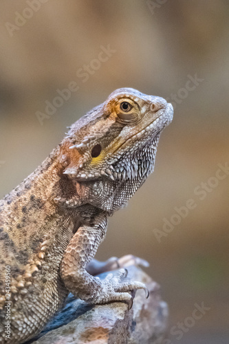 Dragon Barbu Ou Agame Barbu Buy This Stock Photo And